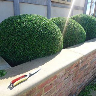 prune boxwood june