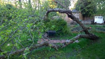 Apple Tree, Fallen