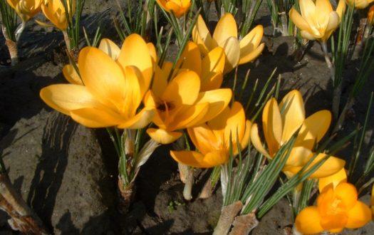 Golden Yellow crocus