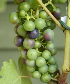 grapevinerondofruitL