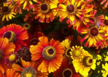 helenium best plant for bees