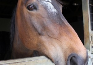 Horse Manure 2