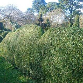 prune boxwood topiary